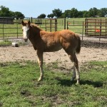 2017 Lizzy Filly